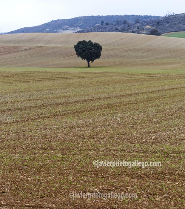 Paisaje entre Cordovilla la Real y Valbuena de Pisuerga. Cerrato palentino. Palencia. Castilla y León. España. © Javier Prieto Gallego
