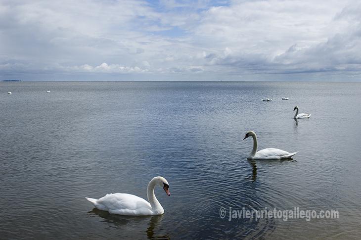 Cisnes junto a la bahía de la localidad de Nida. Lituania.© Javier Prieto Gallego