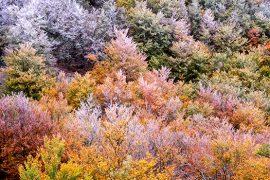 Helada otoñal en un hayedo de la sierra de Ayllón. [Hayedo de La Pedrosa. Segovia. © Javier Prieto Gallego]