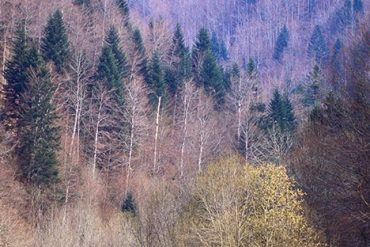 Bosques de Irati. El hayedo-abetal de la Selva de Irati es el segundo más importante de Europa después de La Selva Negra. Navarra. España © Javier Prieto Gallego