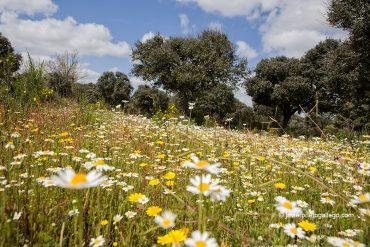 Encinas y flores en el camino hacia la fábrica de harinas de la localidad de Gema de Yeltes. Salamanca. Castilla y León. España. © Javier Prieto Gallego