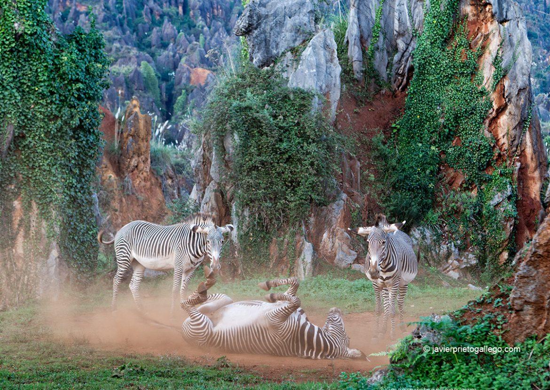 Cebras grevi se revuelcan en la tierra al atardecer. Parque de la Naturaleza de Cabárceno. Cantabria. España © Javier Prieto Gallego