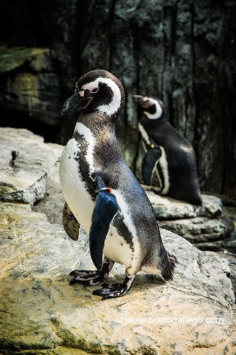 Pingüino en el Oceanario de Lisboa. Lisboa. Portugal. 2005 © Javier Prieto Gallego