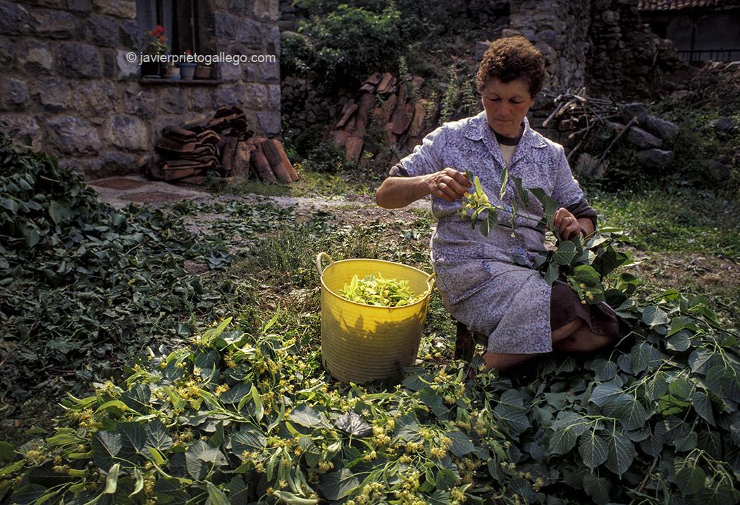 Una mujer trabaja en la recogida de hojas de tilo en Caín. Picos de Europa. León. Castilla y León. España, 1997 © Javier Prieto Gallego