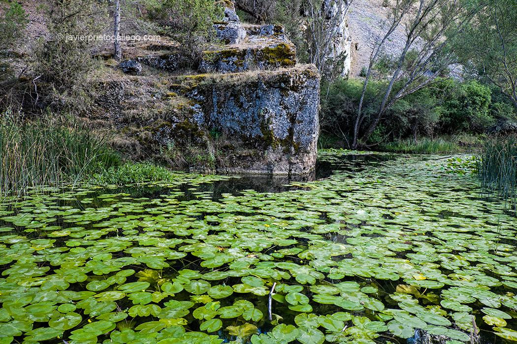 Nenúfares en el río Lobos. Parque Natural Cañón del Río Lobos. Soria. Castilla y León. España. © Javier Prieto Gallego;