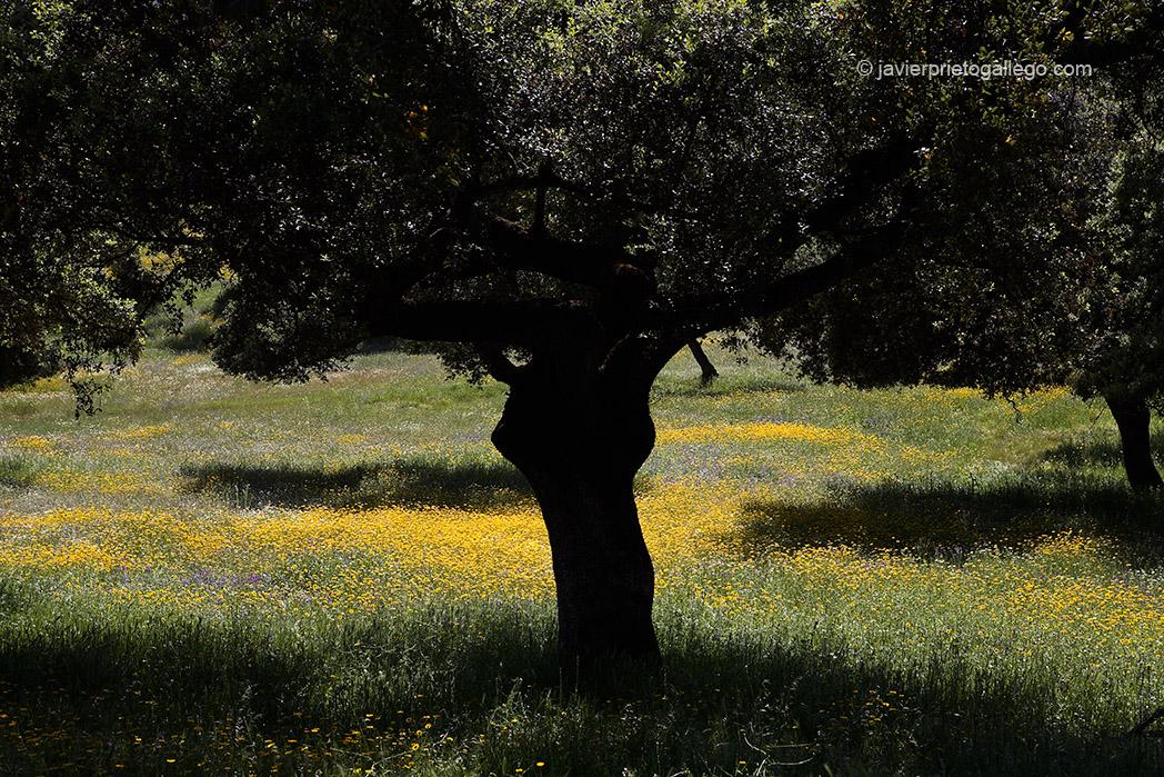 Dehesa extremeña. Encinas y flores. Localidad de Fuentes de León. Comarca de Tentudía. Badajoz. Extremadura. España. 2007 © Javier Prieto Gallego