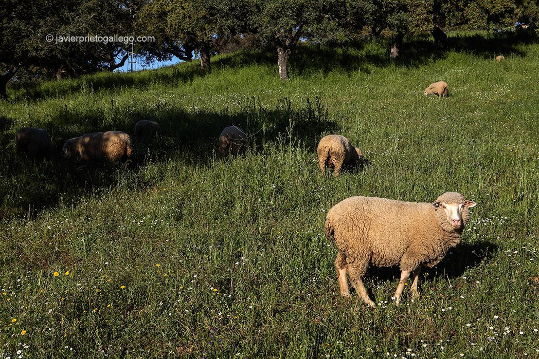 Ovejas merinas. Dehesa extremeña. Cerca de Calera de León. Comarca de Tentudía. Badajoz. Extremadura. España. 2007 © Javier Prieto Gallego