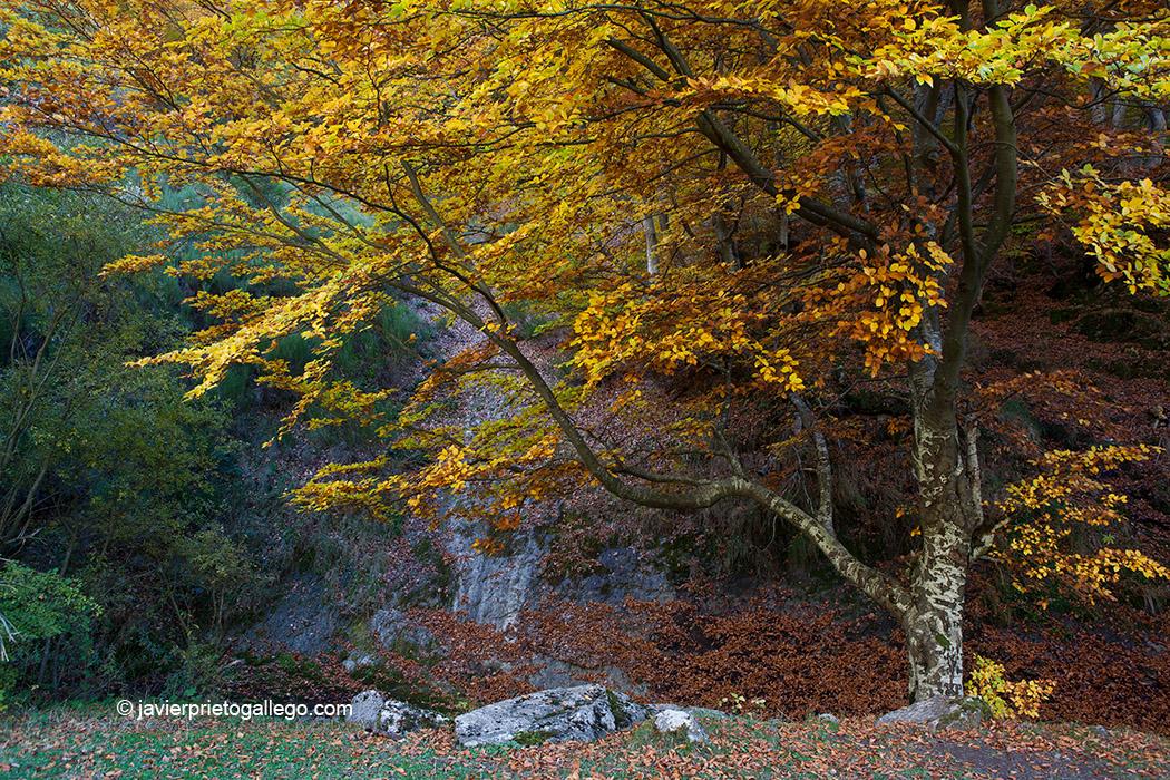 Interior del hayedo de Ciñera de Gordón. Montaña Leonesa. Reserva de la Biosfera declarada por la Unesco en 2005. León. Castilla y León. España © Javier Prieto Gallego