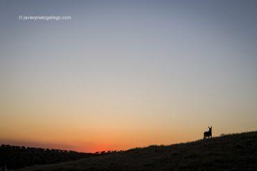 Burro al atardecer. Montemolín. Comarca de Tentudía. Badajoz. Extremadura. España © Javier Prieto Gallego