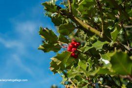 Los llamativos frutos del acebo sirven de alimento a muchos animales del bosque. Acebal de Prádena. Localidad de Prádena. Segovia. Castilla y León. España. ©Javier Prieto Gallego