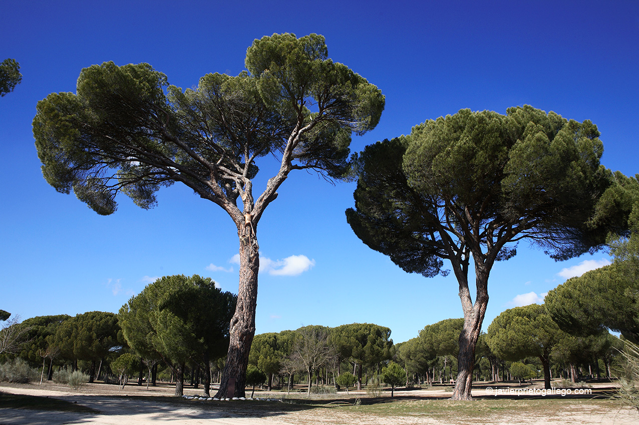 Monumento al Piñero y Árbol Monumental en los pinares. Pedrajas de San Esteban. Camino de Santiago de Madrid. Localidad de Pedrajas de San Esteban. Valladolid. © Javier Prieto Gallego