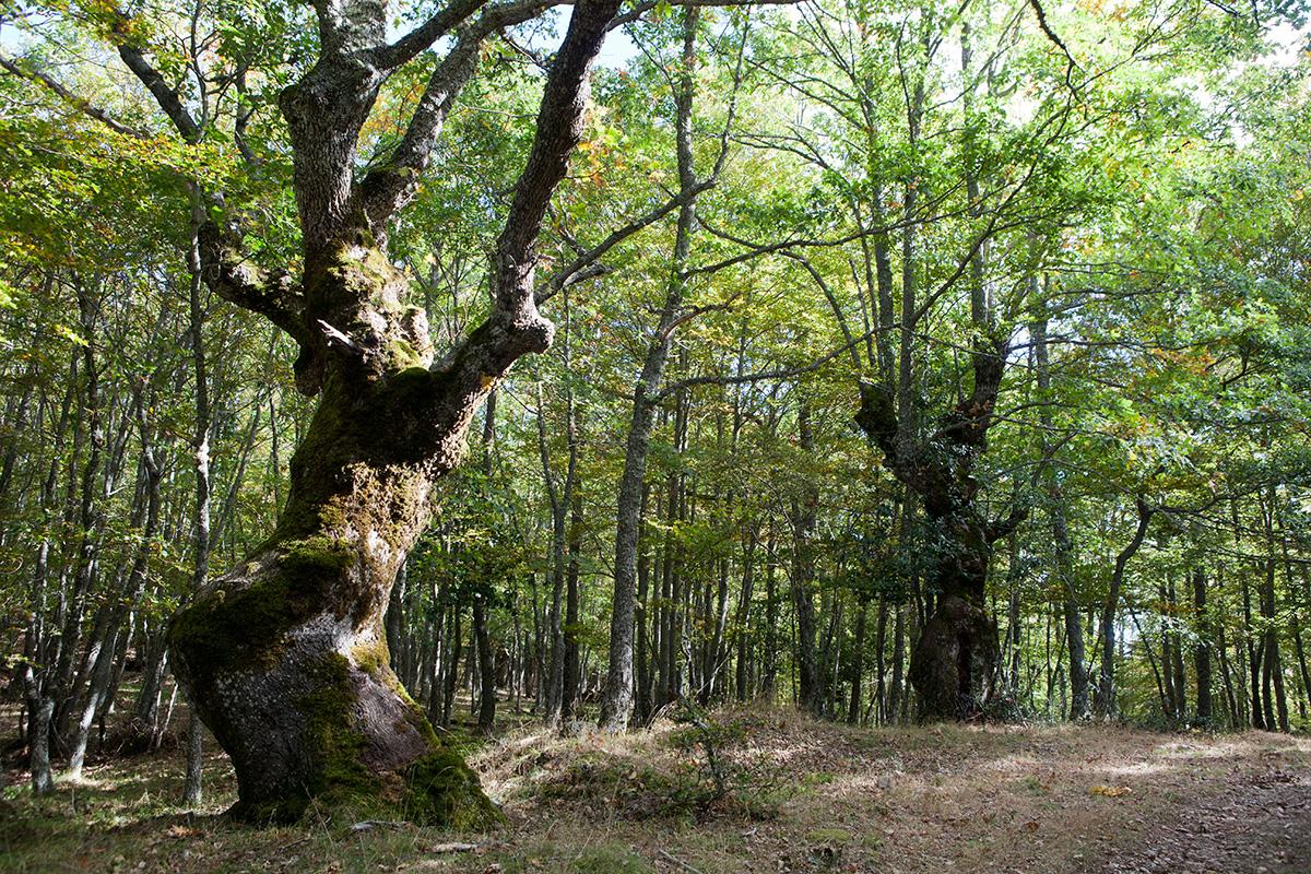 Robledal en el paseo por el embalse de Ruesga. Parque Natural de Fuentes Carrionas. Montaña Palentina. Valle Estrecho. Palencia. Castilla y León. España. © Javier Prieto Gallego