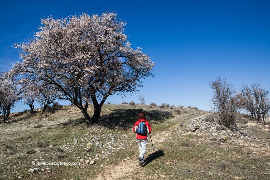 Almendros en flor en el camino hacia el cerro de San Blas. Fuentidueña. Segovia. Castilla y León. España. © Javier Prieto Gallego