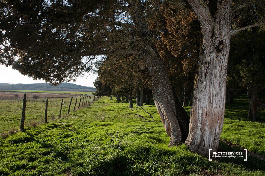 Sabinas milenarias. Reserva natural de El Sabinar de Calatañazor. Soria. Castilla y León. España © Javier Prieto Galleg