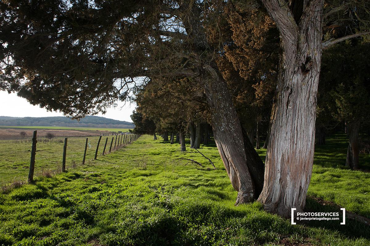 Sabinas milenarias. Reserva natural de El Sabinar de Calatañazor. Soria. Castilla y León. España © Javier Prieto Gallego
