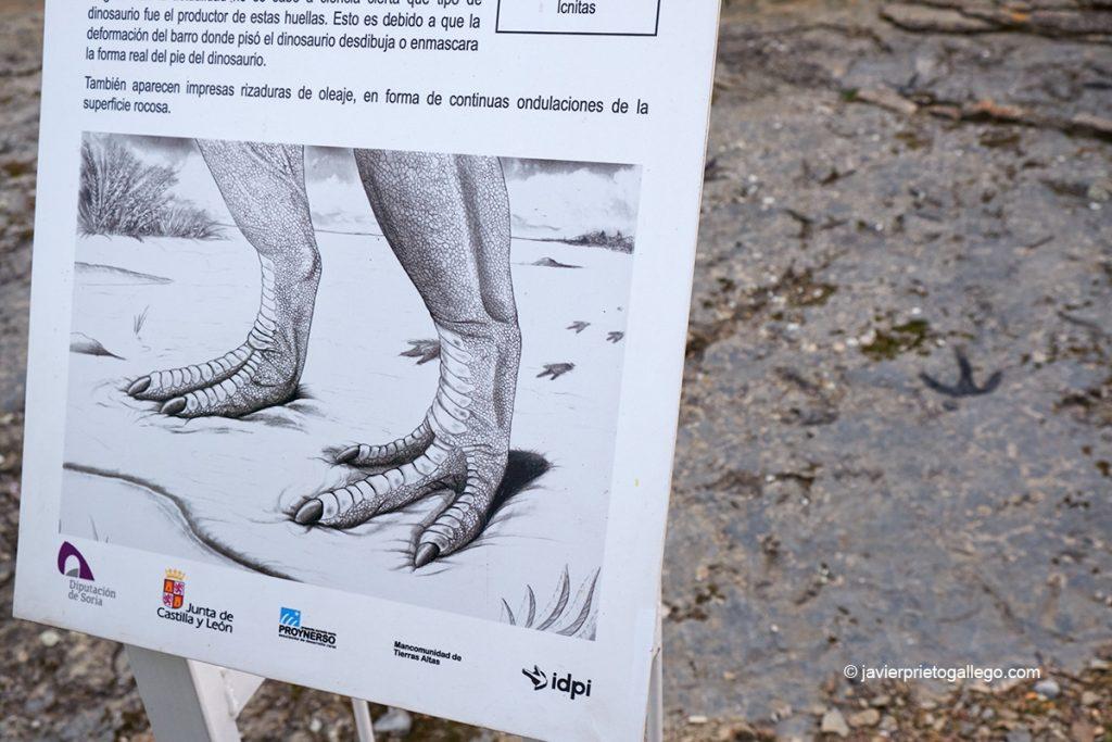 Huellas de dinosaurio en el yacimiento Corral de la Peña. Bretún. Ruta de las Icnitas. Soria. Castilla y León. España. © Javier Prieto Gallego