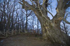 Senda señalizada al Roblón de Estalaya. Edad estimada: 800 años. Altura 12 metros, perímetro 9, 82 metros. Estalaya. Palencia