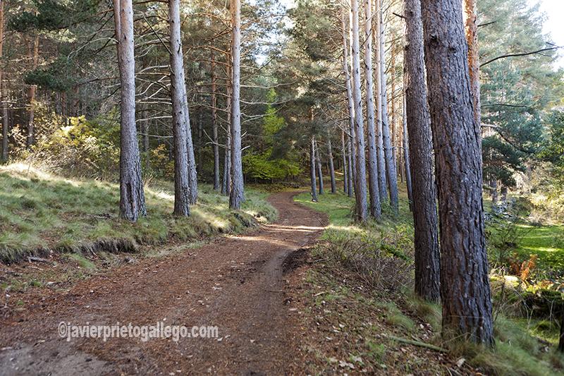 Un camino recorre el interior del Pinar de Hoyocasero. Localidad de Hoyocasero. Sierra de Gredos. Ávila. Castilla y León. España. © Javier Prieto Gallego