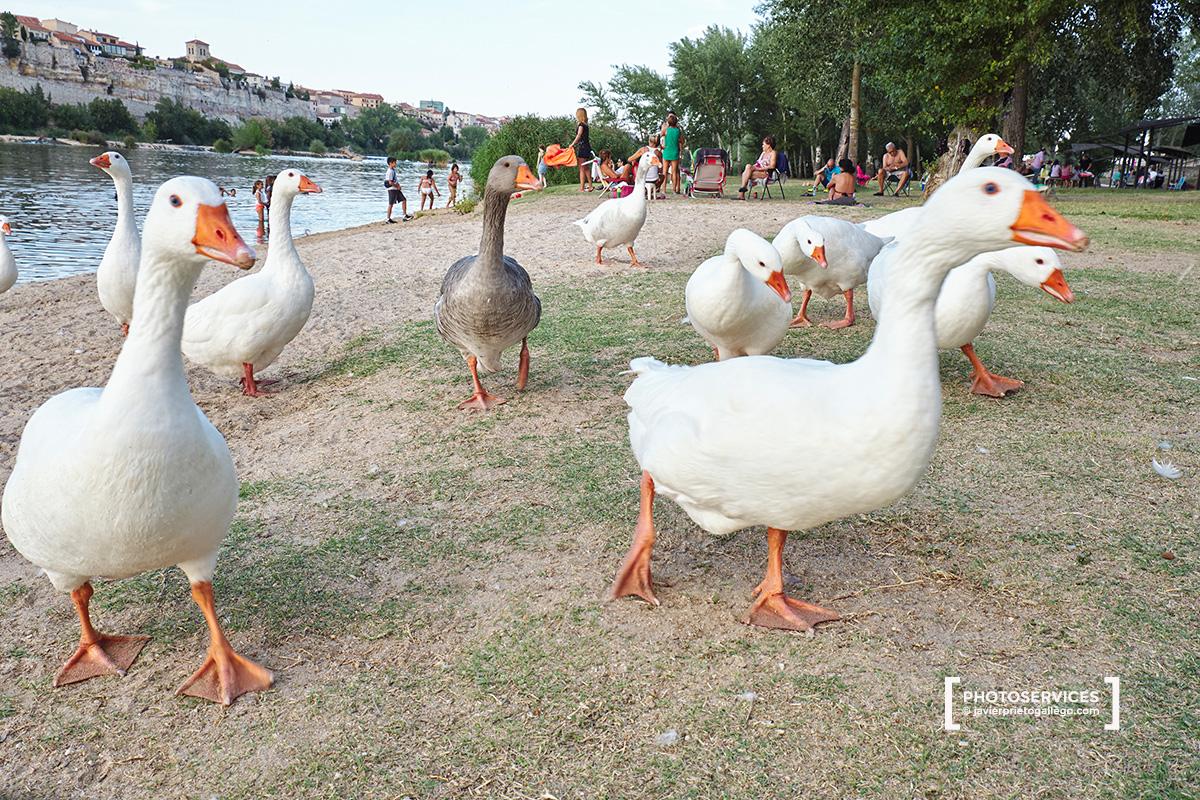 Ocas en la playa de Los Pelambres. Paseo fluvial de Zamora junto a río Duero. Zamora. Castilla y León. España. © Javier Prieto Gallego