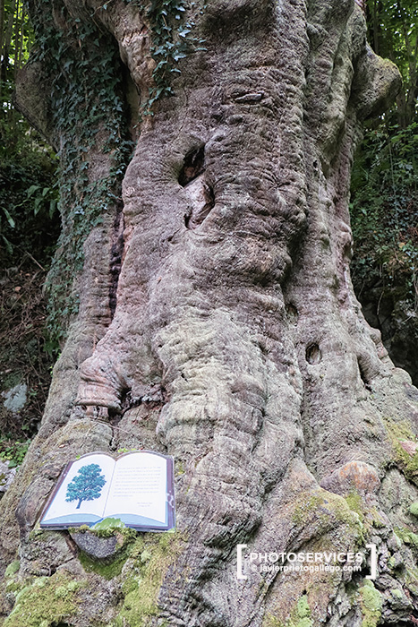 Árbol monumental. Haya con más de 400 años. San Esteban de Cuñaba. Picos de Europa. Asturias. España © Javier Prieto Gallego