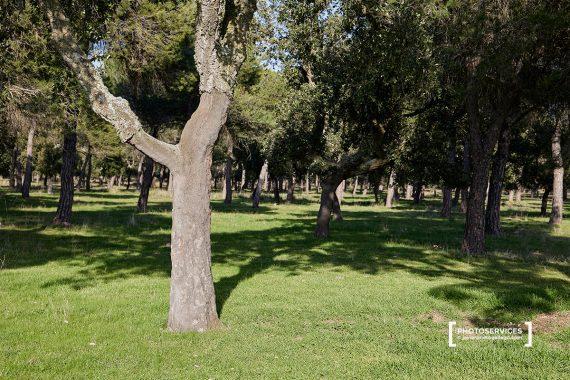 Alcornoques. Sendero de El Alcornocal de Foncastín, PRC-VA 36. Foncastín. Valladolid, Castilla y León. España © Javier Prieto Gallego