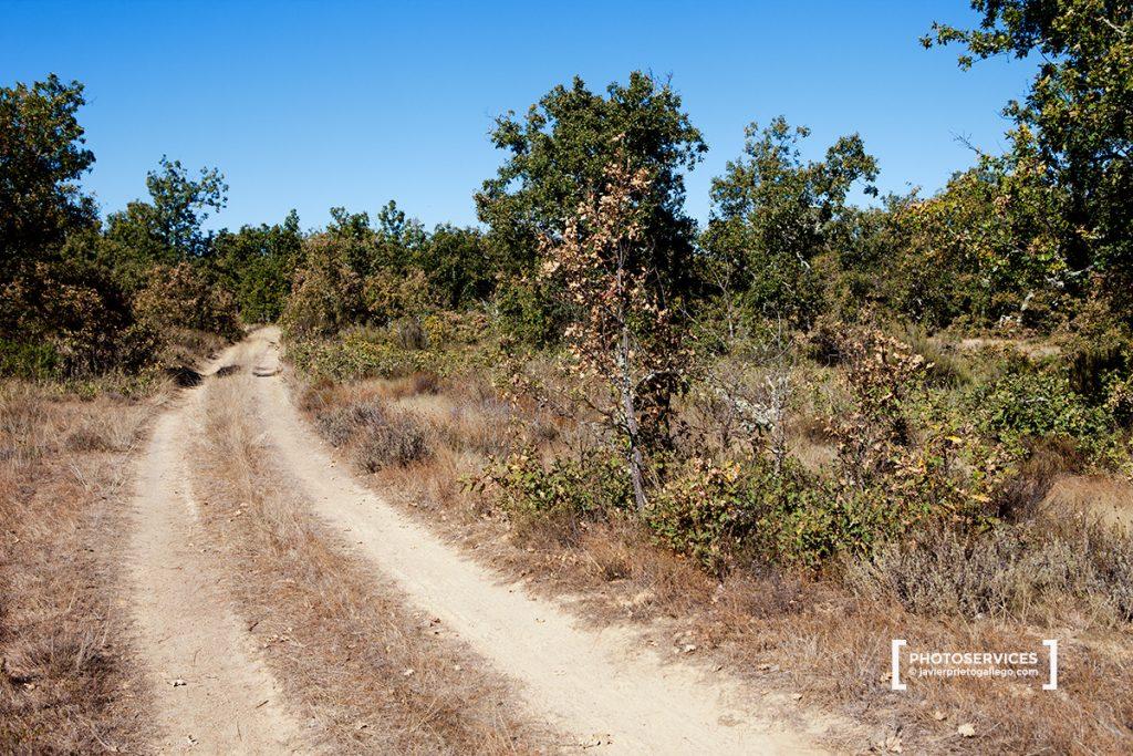 El paseo recorre también densas masas de rebollar en el monte de San Pedro de Ceque. Zamora. Castilla y León. España © Javier Prieto Gallego