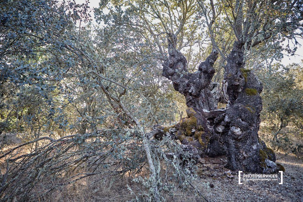 Monte de Las Majadas. Encinas milenarias. Localidad de San Pedro de Ceque. Zamora. Castilla y León. España © Javier Prieto Gallego