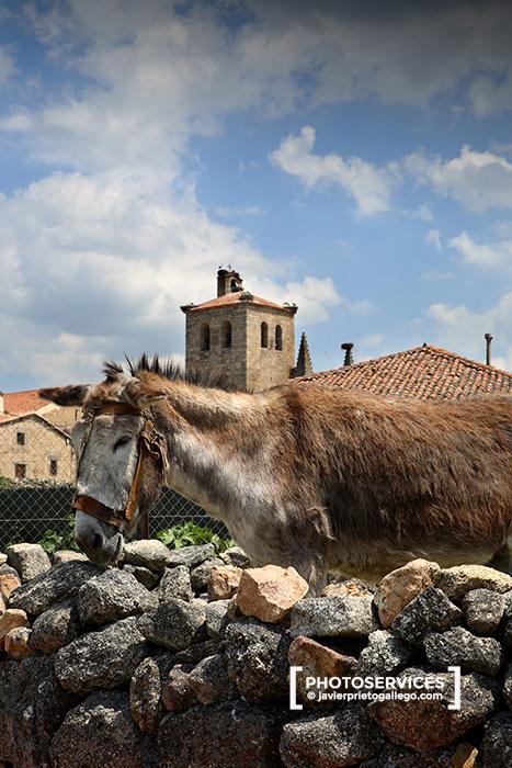 Burro con la colegiata gótica de San Martín al fondo. Siglo XV. Bonilla de la Sierra. Ávila. Castilla y León. España. © Javier Prieto Galleg