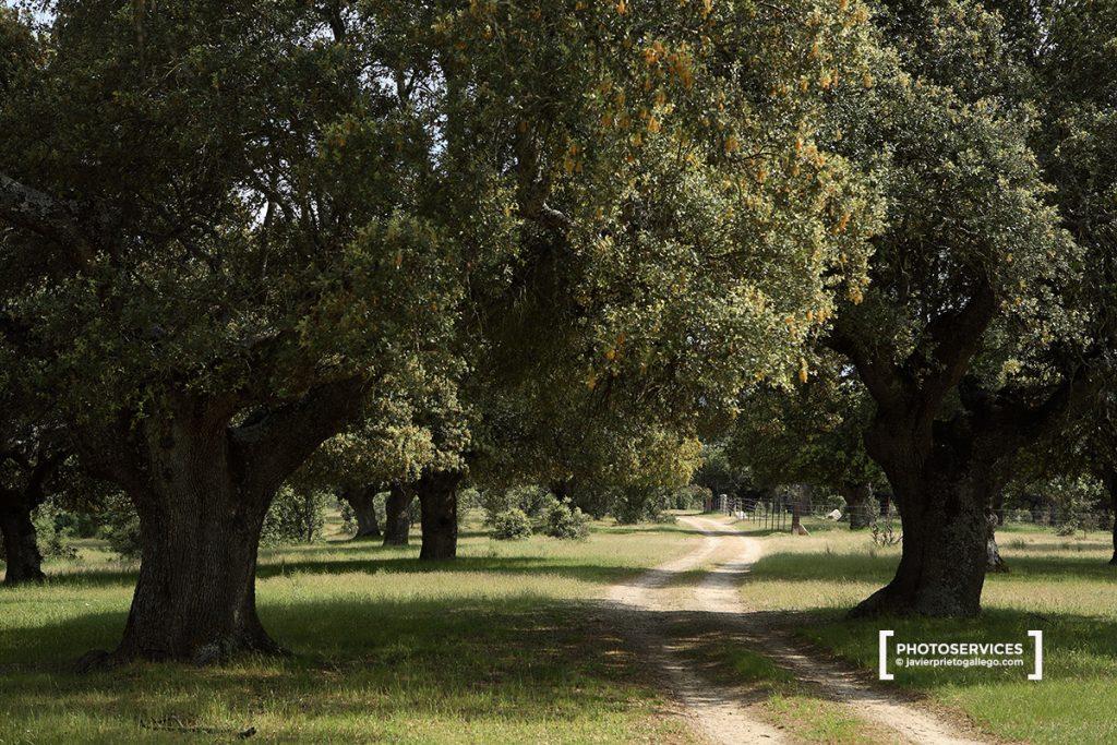 Encinas centenarias. Dehesa boyal. Bonilla de la Sierra. Ávila. Castilla y León. España.  © Javier Prieto Gallego