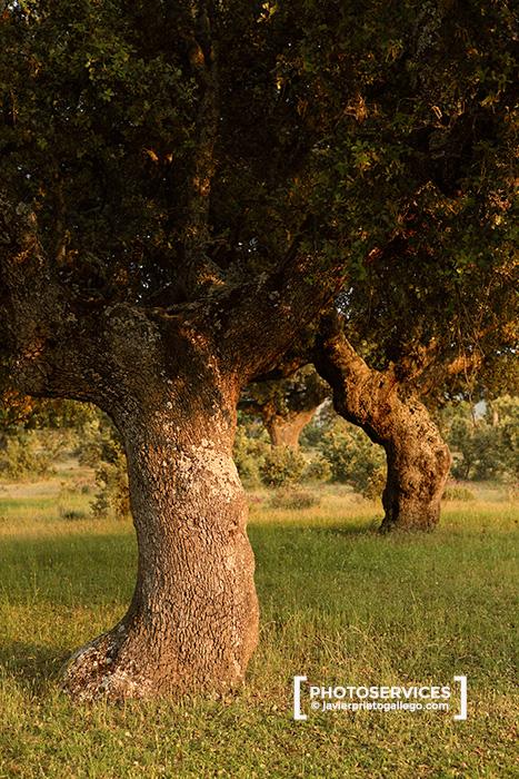 Encinas centenarias de la dehesa boyal. Bonilla de la Sierra. Ávila. Castilla y León. España.© Javier Prieto Gallego